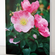 Prairie Rose Note Card