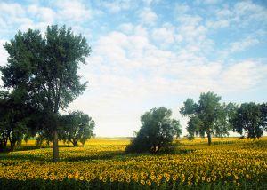 c64-Sunflower-Dreams-web.jpg