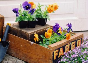 Fargo-Pansy-web.jpg