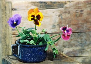 c49-Pansy-Cup.jpg