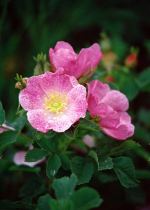 c71-Prairie-Rose.jpg