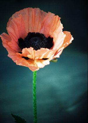 c73-Poppy.jpg