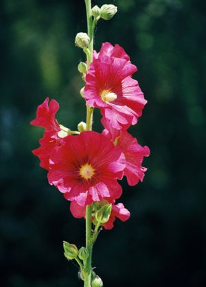 c94-Hollyhocks.jpg